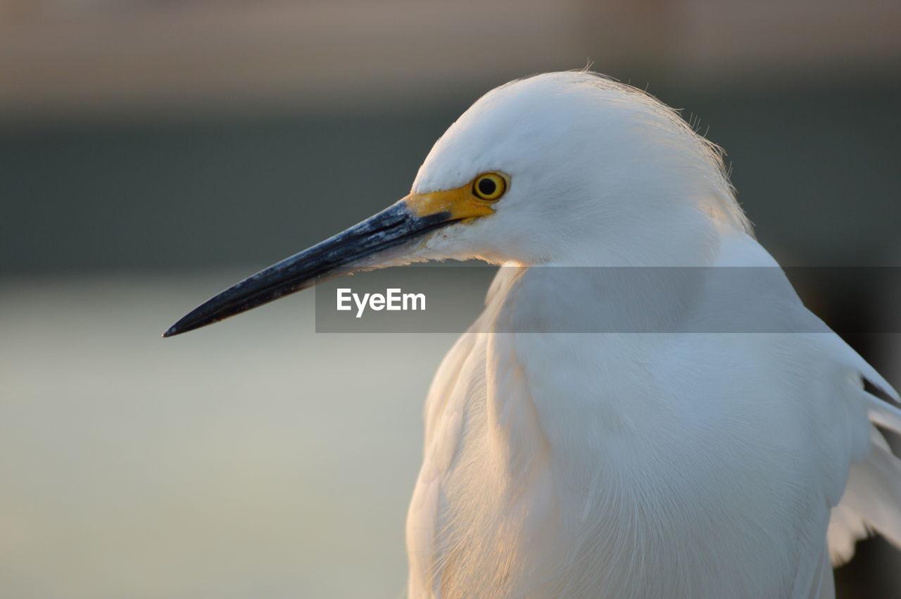 Close-Up Of Little Egret