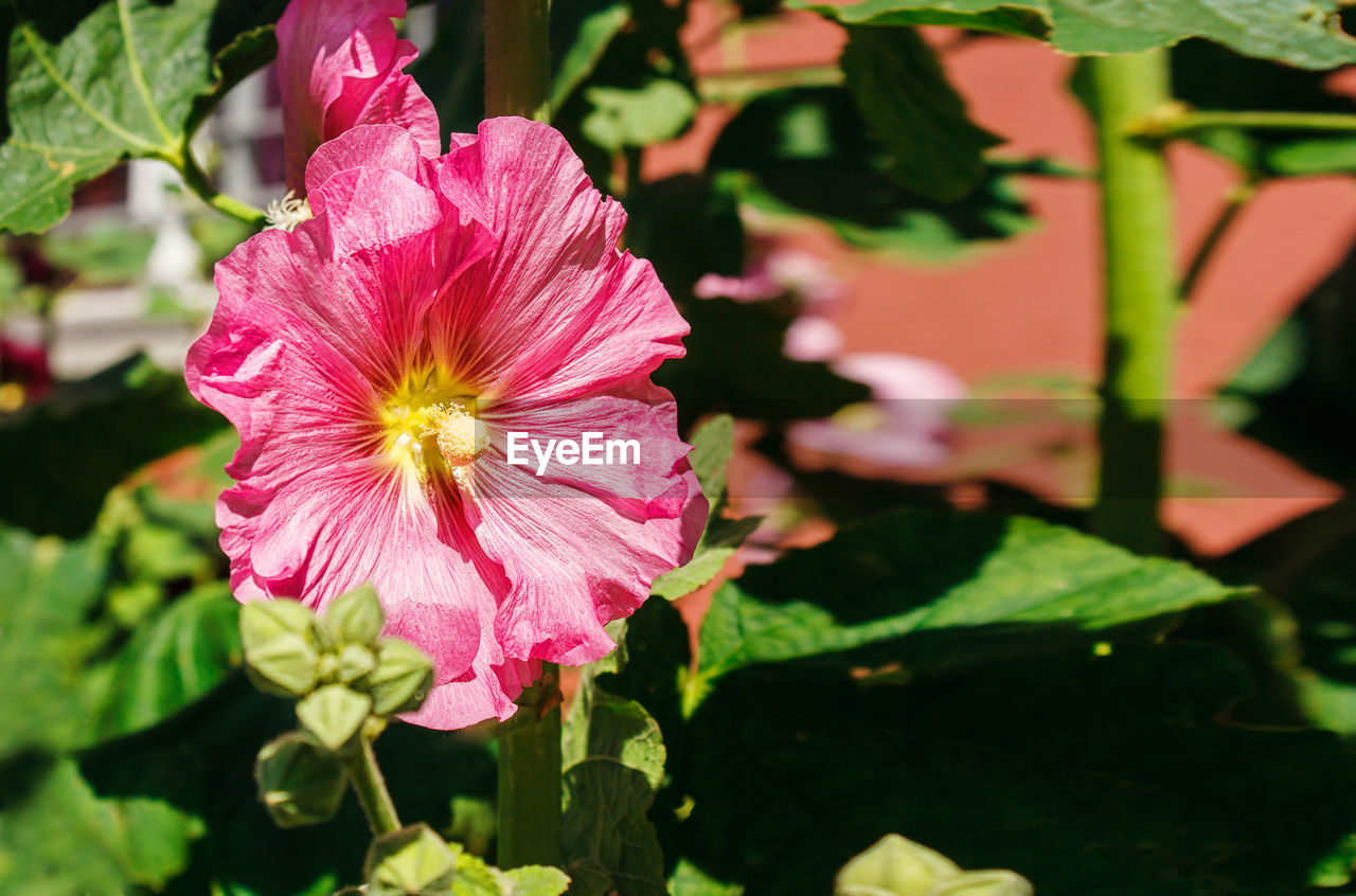 flower, fragility, flowering plant, vulnerability, freshness, plant, petal, pink color, beauty in nature, flower head, growth, inflorescence, close-up, nature, no people, focus on foreground, day, plant part, leaf, sunlight, pollen, outdoors