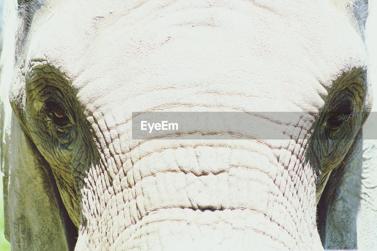 one animal, close-up, animal body part, no people, animal wildlife, vertebrate, animals in the wild, eye, day, elephant, animal eye, outdoors, mammal, white color, animal skin, nature, portrait