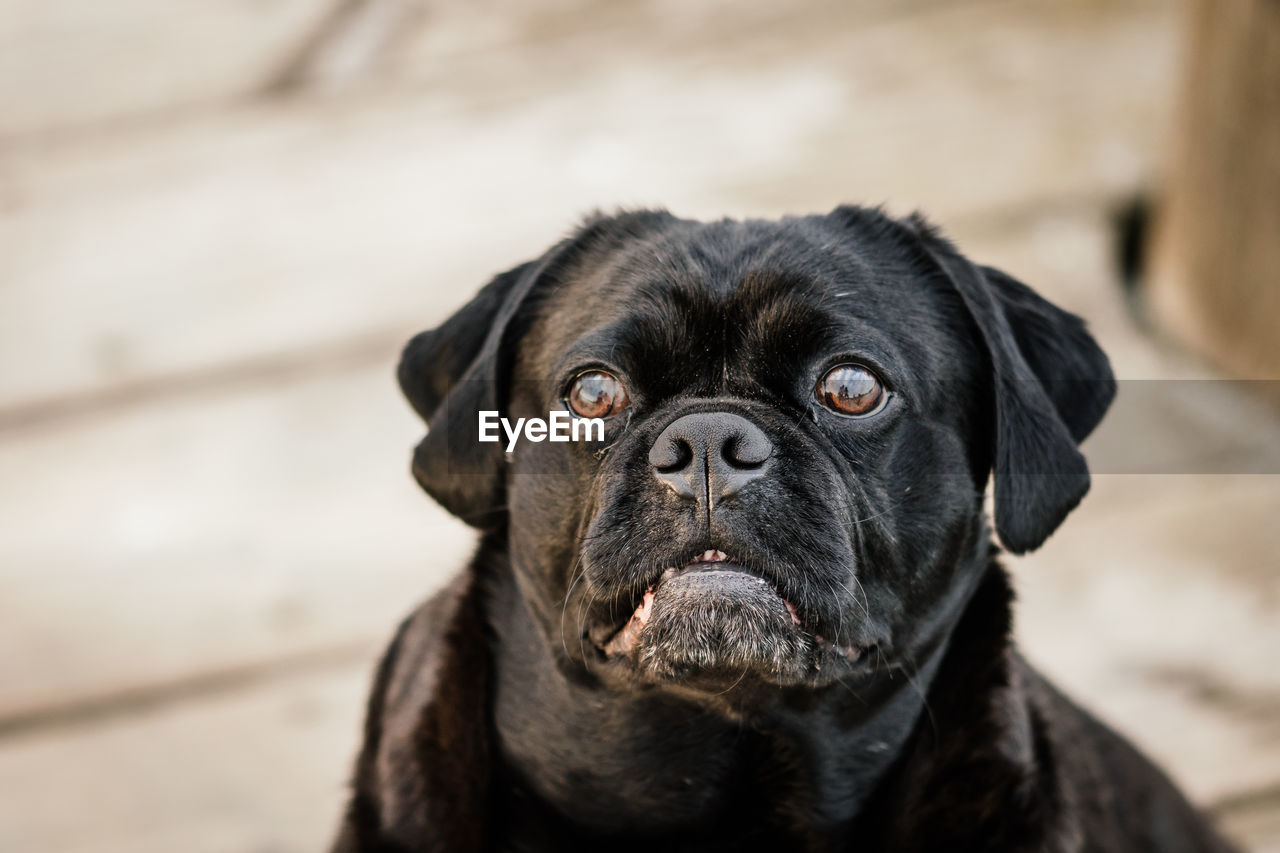 dog, canine, pets, one animal, domestic animals, domestic, animal themes, mammal, animal, black color, vertebrate, focus on foreground, close-up, portrait, no people, looking at camera, looking, day, animal body part, animal head, animal eye