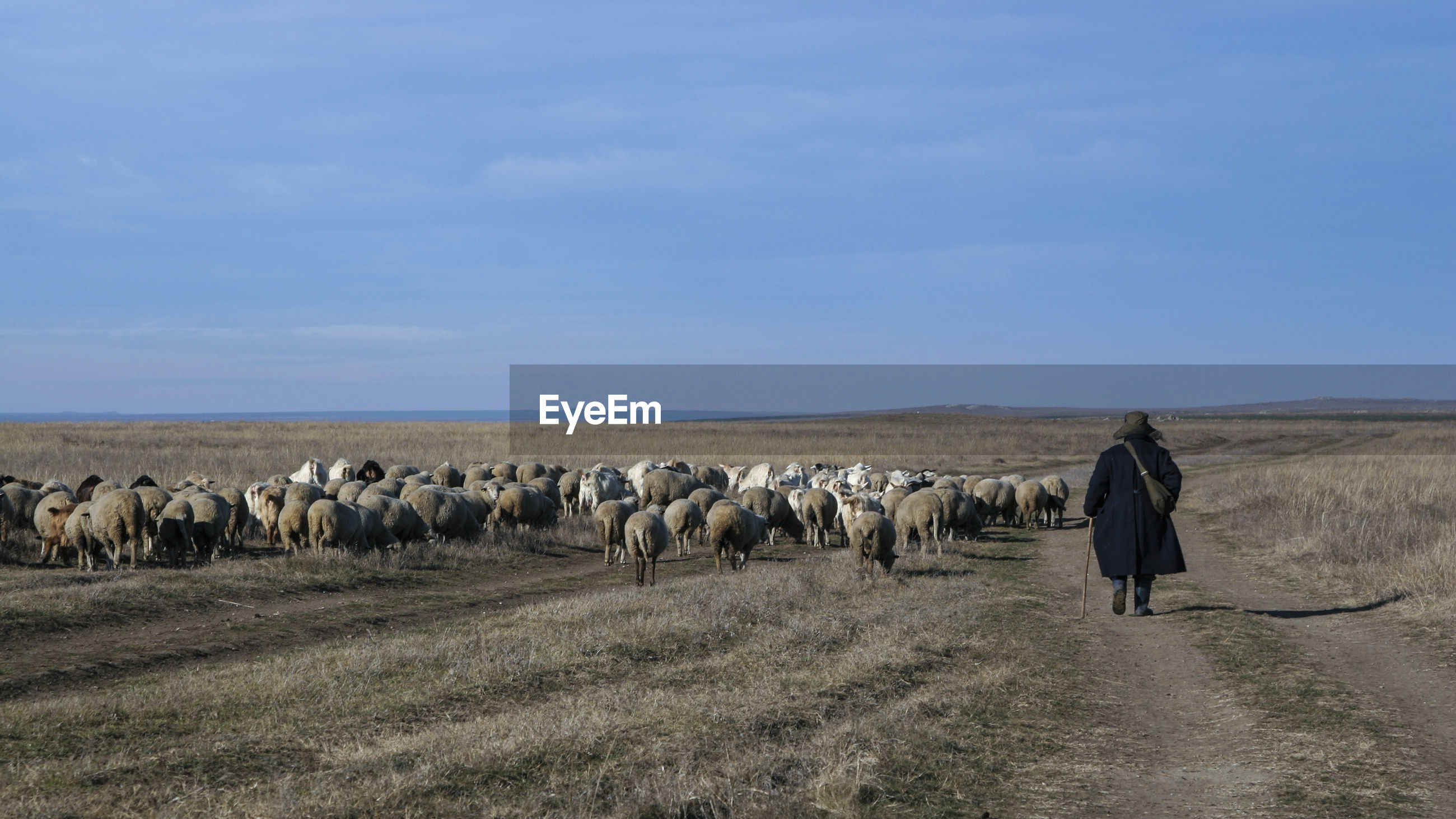 Rear view of person walking by flock of sheep on landscape
