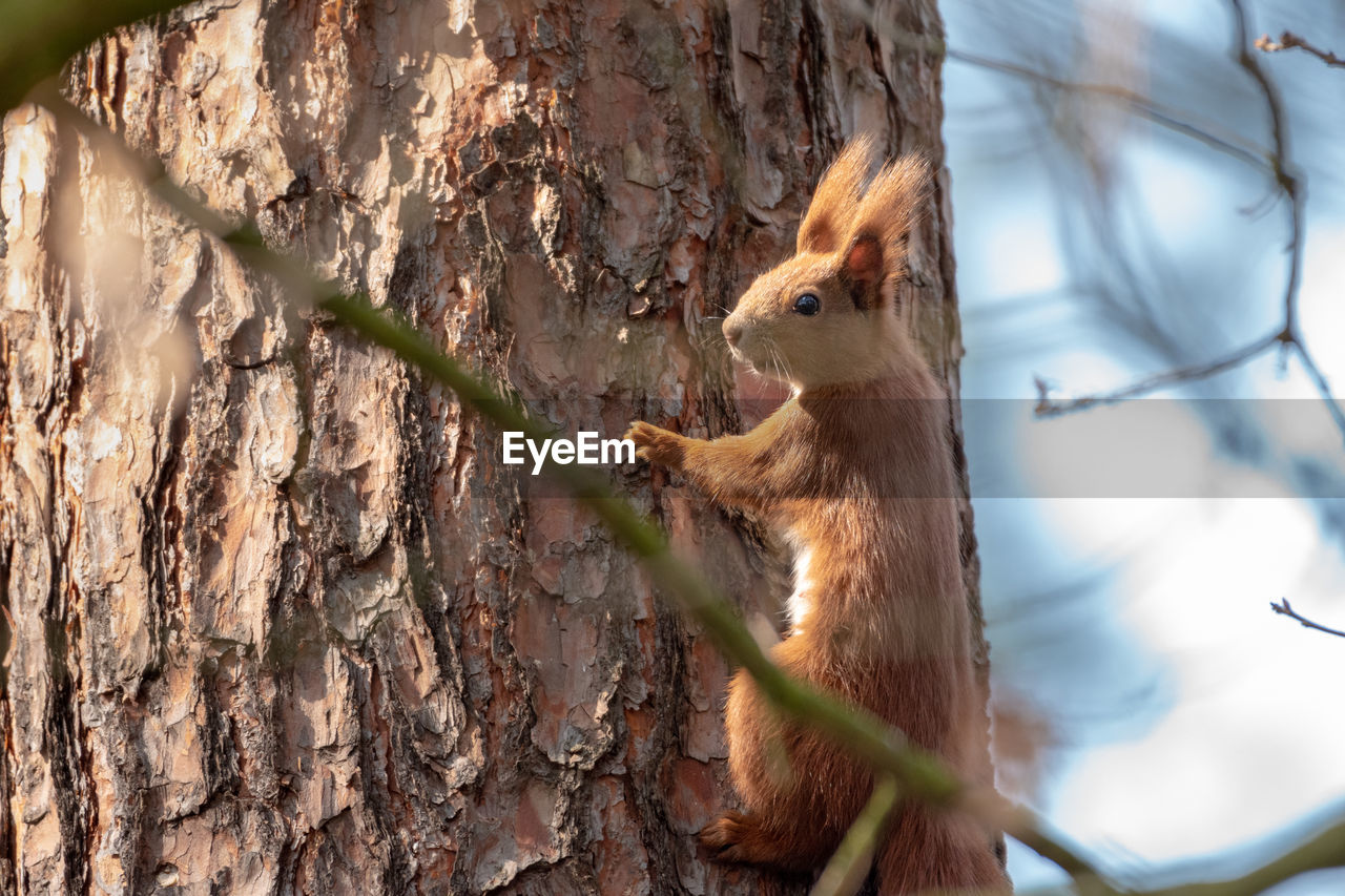 animal, animal themes, mammal, one animal, animal wildlife, tree, animals in the wild, rodent, tree trunk, trunk, squirrel, vertebrate, plant, no people, branch, nature, day, selective focus, outdoors, focus on foreground, herbivorous