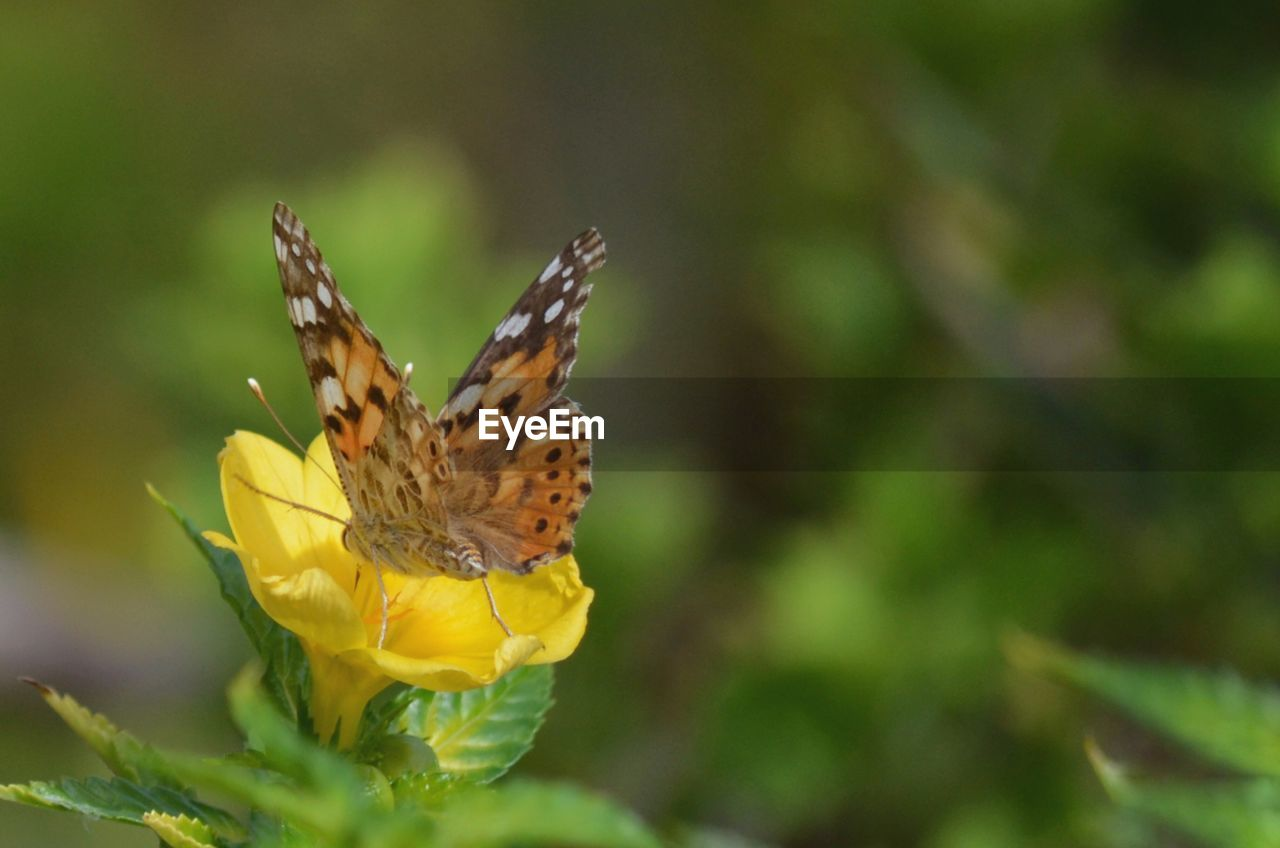 flower, animal themes, animal wildlife, flowering plant, one animal, animal, animal wing, insect, beauty in nature, invertebrate, animals in the wild, butterfly - insect, fragility, vulnerability, plant, petal, close-up, freshness, flower head, yellow, pollination, no people, outdoors, butterfly