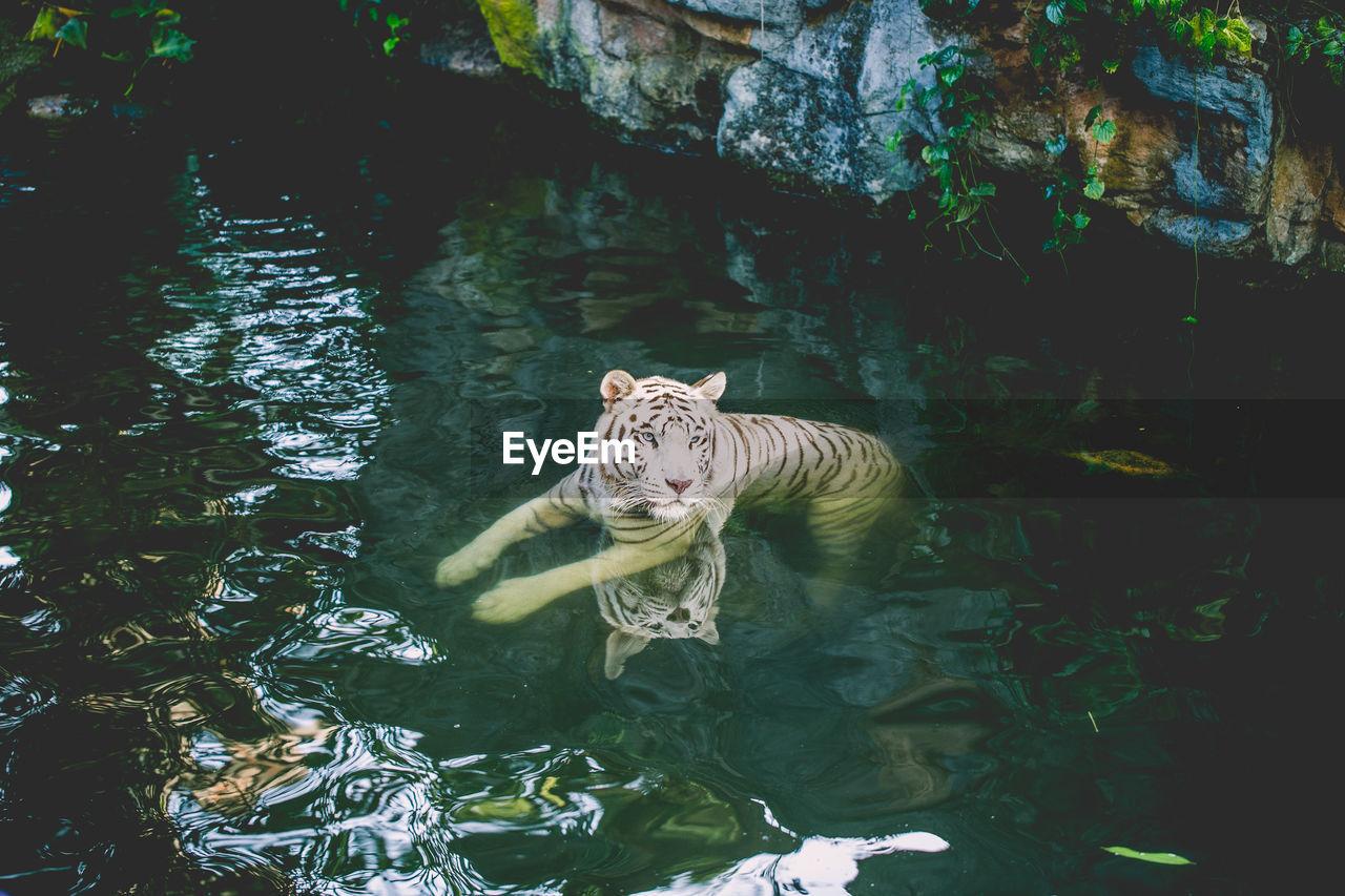 animal, animal themes, one animal, animals in the wild, animal wildlife, water, feline, big cat, vertebrate, mammal, cat, swimming, nature, pond, no people, tiger, day, outdoors, zoo