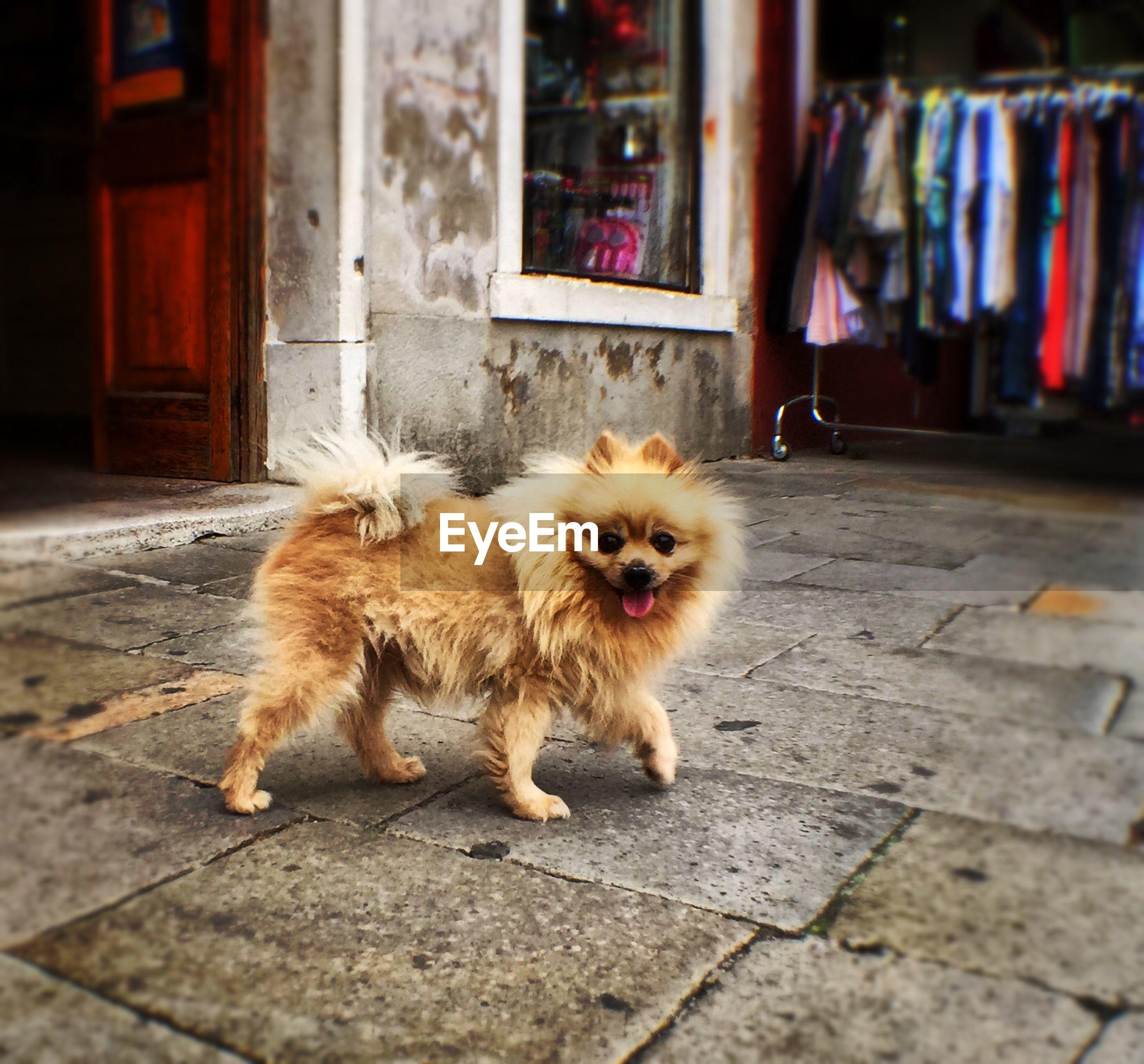 Pomeranian walking outside store