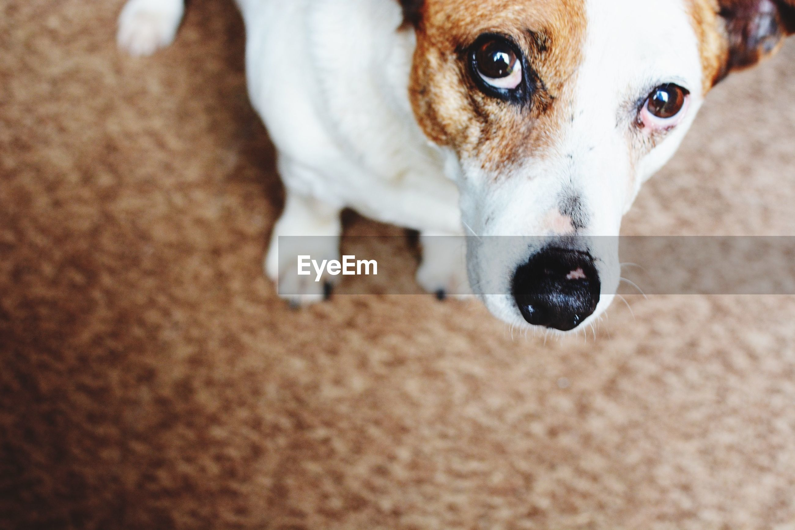 High angle view portrait of jack russell terrier