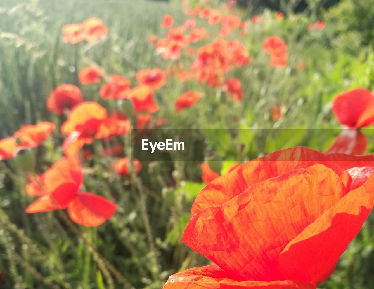 CLOSE-UP OF POPPIES BLOOMING OUTDOORS
