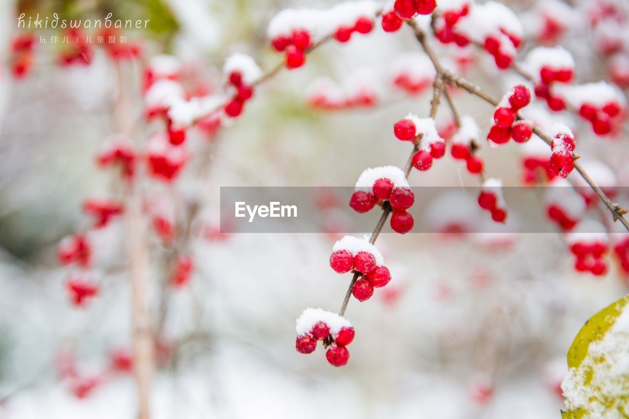 red, fruit, berry fruit, tree, beauty in nature, nature, focus on foreground, freshness, no people, growth, close-up, rowanberry, outdoors, day, selective focus, flower, fragility, branch, food and drink, rose hip, plant