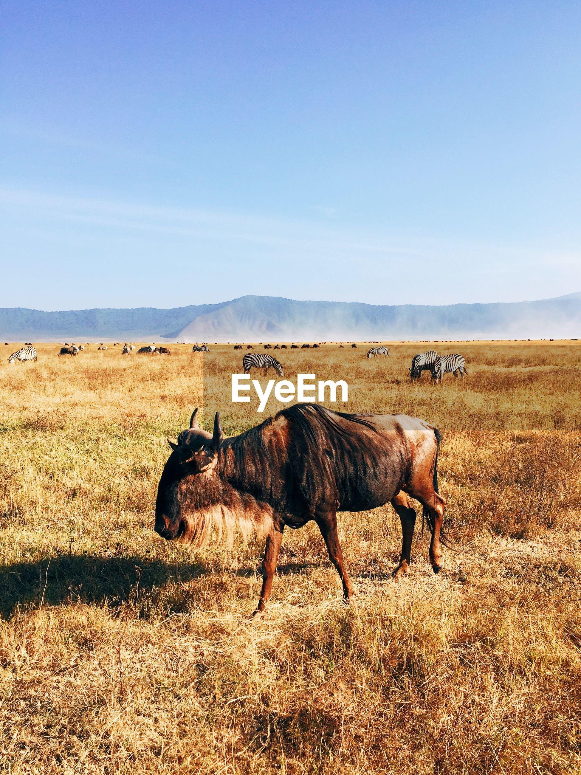 Wildebeest walking on grassy field against clear sky
