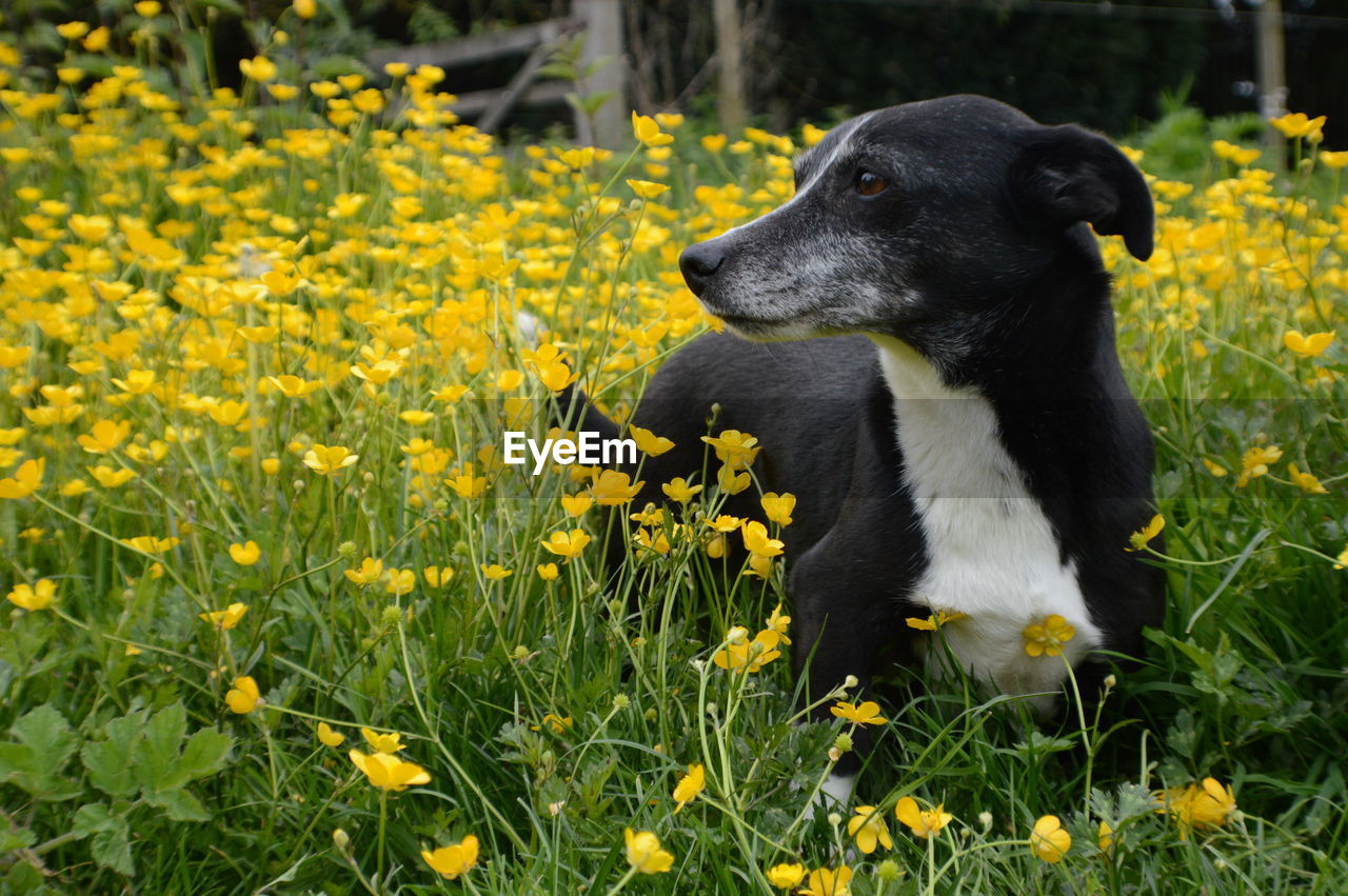 Black dog in yellow flowers field
