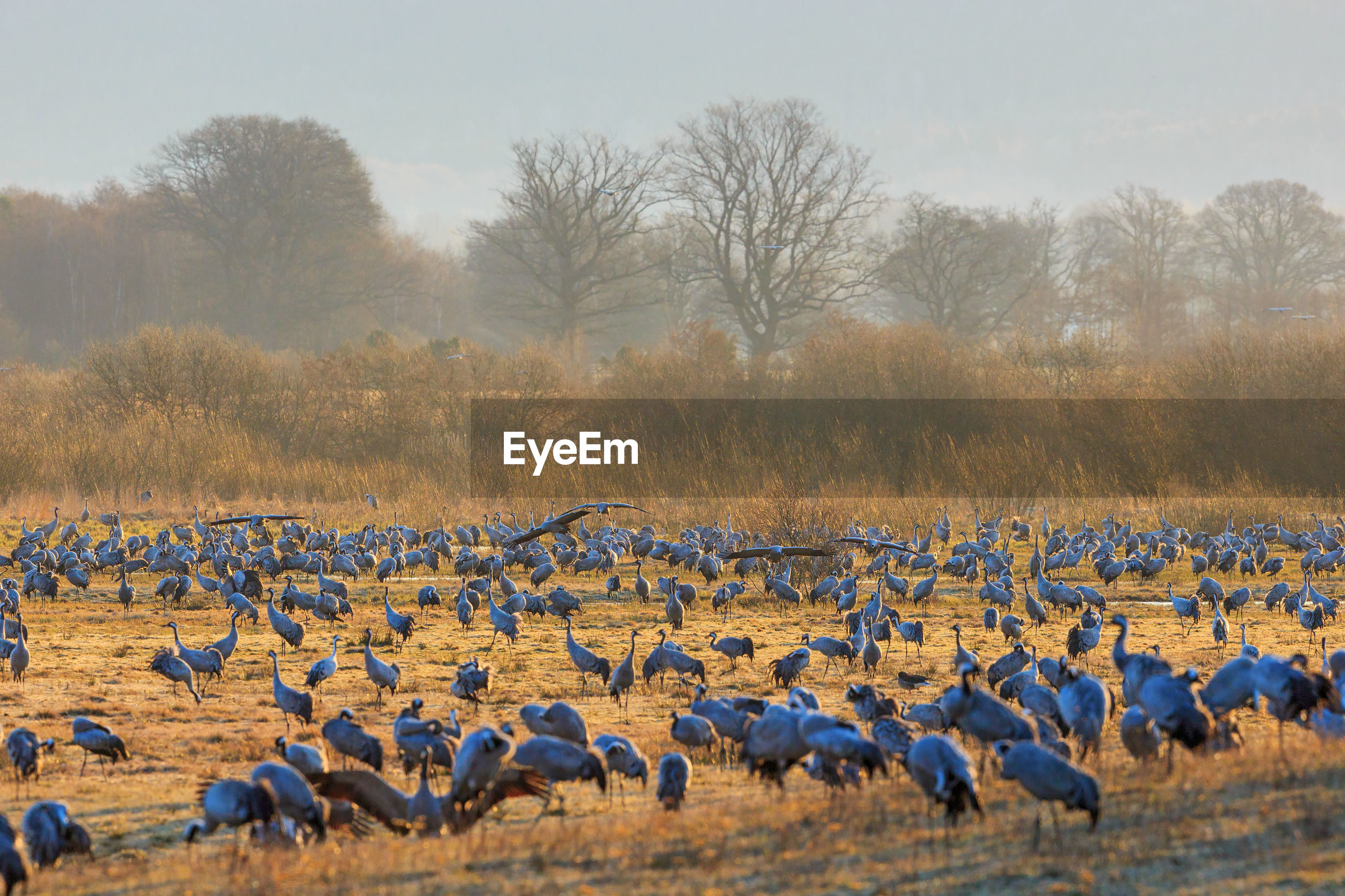 Flock of cranes grazing at the meadow at lake hornborgasjon in sweden