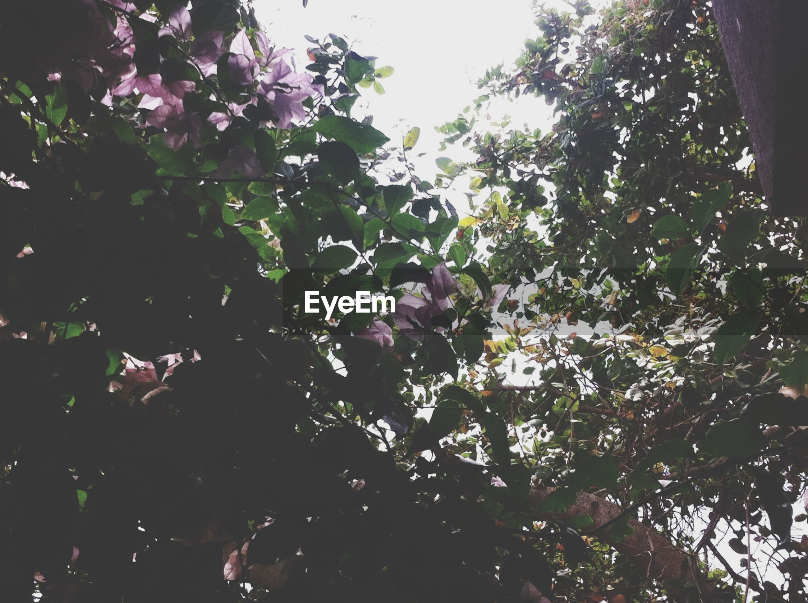 tree, growth, low angle view, branch, nature, beauty in nature, leaf, flower, outdoors, day, clear sky, no people, sunlight, freshness, pink color, sky, plant, tranquility, fragility, park - man made space