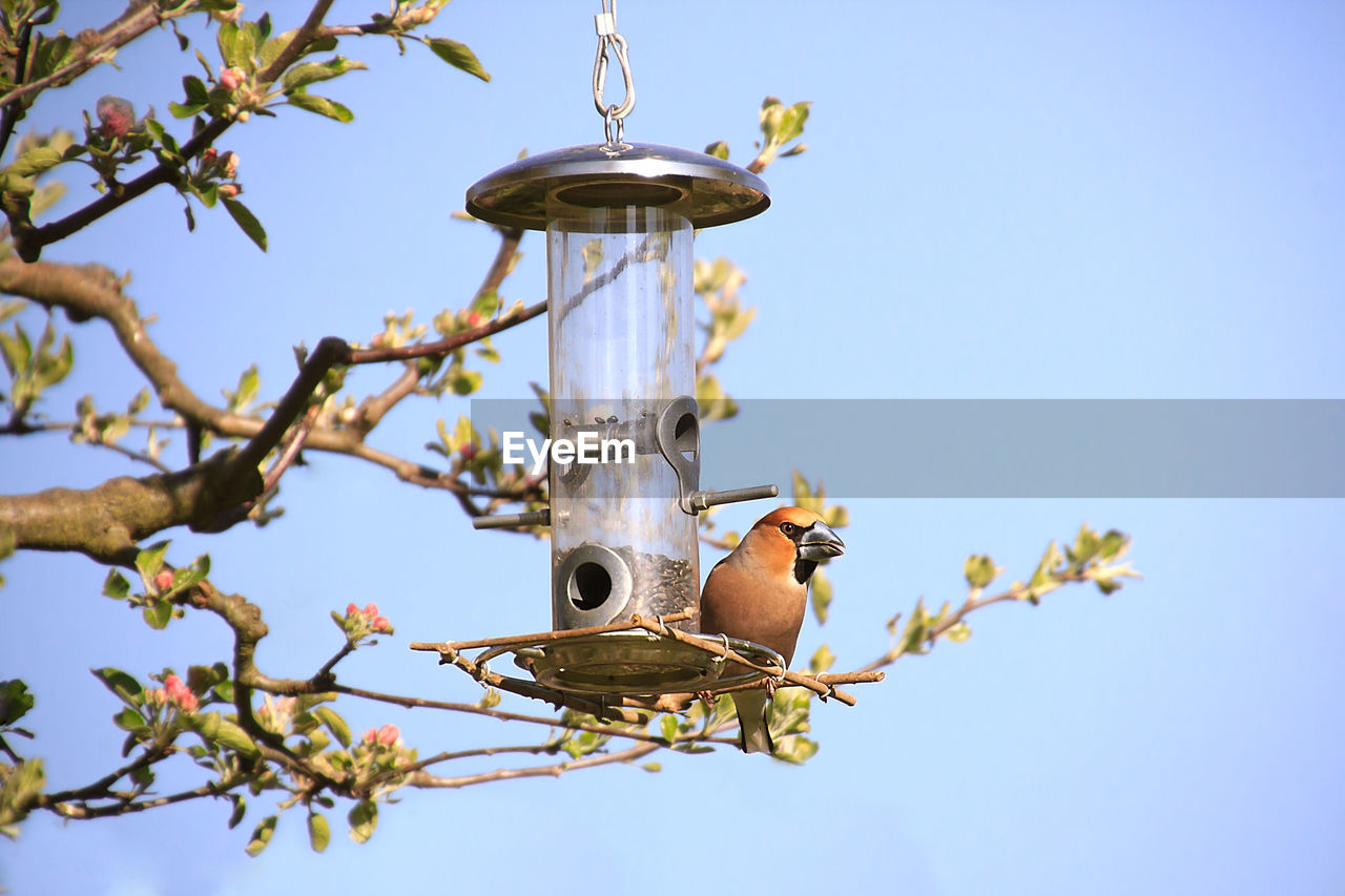 animal wildlife, animals in the wild, low angle view, animal, bird, animal themes, sky, nature, vertebrate, no people, clear sky, one animal, day, plant, perching, tree, branch, bird feeder, blue, focus on foreground, outdoors