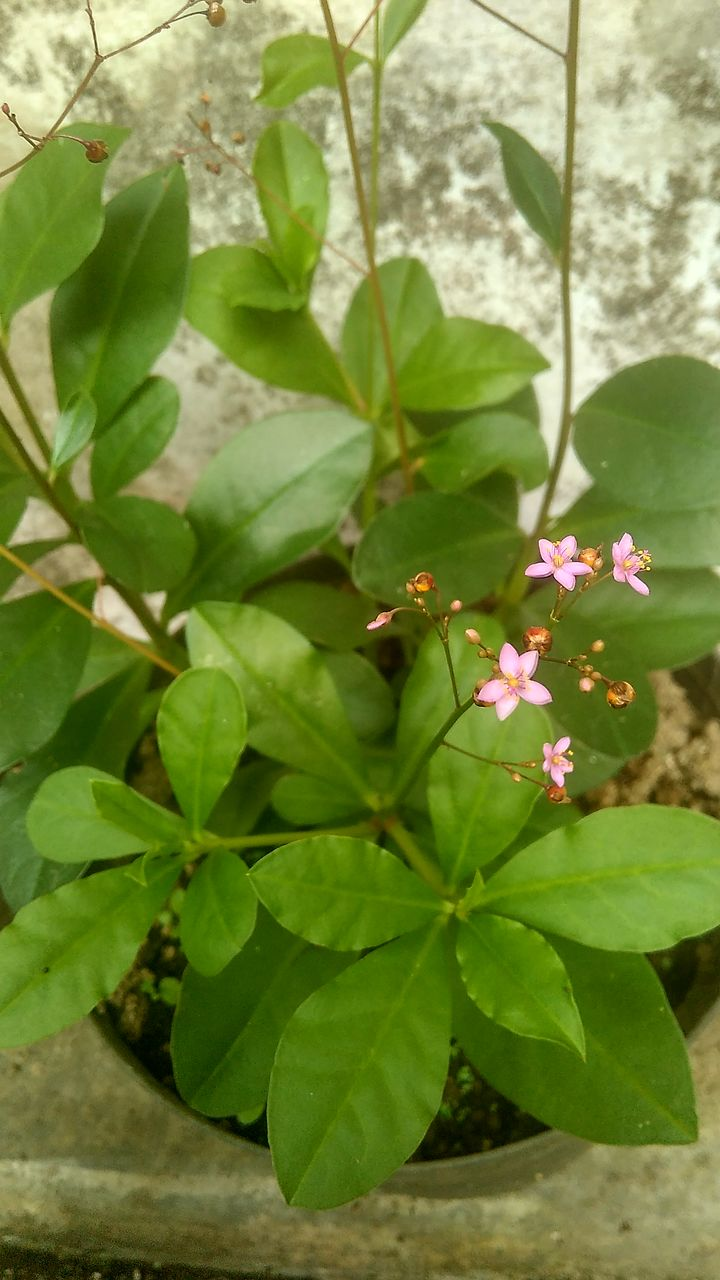 plant, leaf, plant part, growth, flower, flowering plant, freshness, beauty in nature, close-up, nature, vulnerability, fragility, day, petal, green color, no people, inflorescence, flower head, outdoors, pink color, springtime, pollen