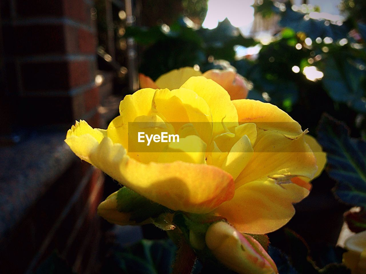 flower, petal, yellow, growth, freshness, nature, beauty in nature, fragility, focus on foreground, flower head, close-up, outdoors, day, no people, plant, blooming