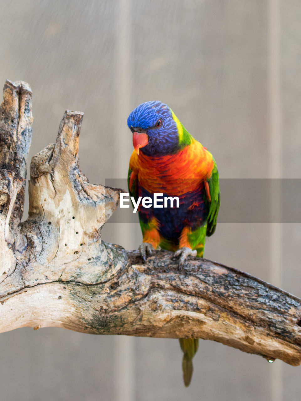 animal themes, animals in the wild, rainbow lorikeet, perching, animal wildlife, focus on foreground, one animal, day, bird, outdoors, nature, multi colored, no people, beauty in nature, close-up, branch, parrot