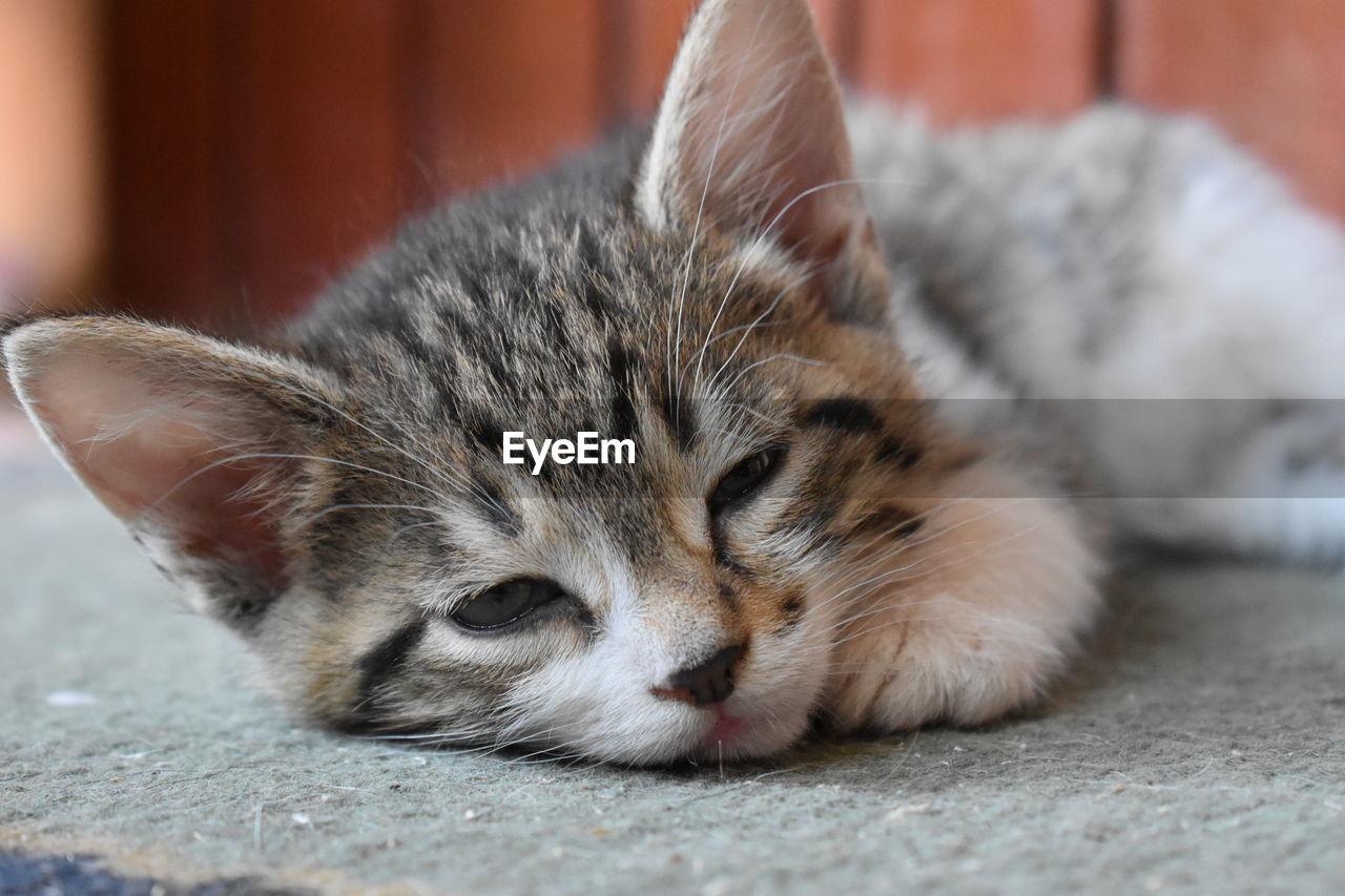 mammal, animal themes, cat, pets, domestic cat, animal, domestic, one animal, feline, domestic animals, relaxation, vertebrate, eyes closed, sleeping, resting, close-up, no people, lying down, whisker, focus on foreground, animal head, tabby, napping