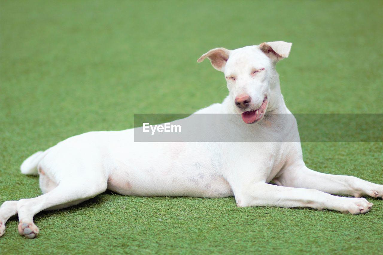 PORTRAIT OF WHITE DOG LYING ON GRASS