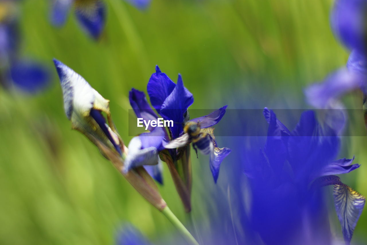 flower, selective focus, fragility, nature, growth, beauty in nature, purple, petal, plant, blue, animal themes, freshness, day, no people, close-up, outdoors, insect, flower head, animals in the wild