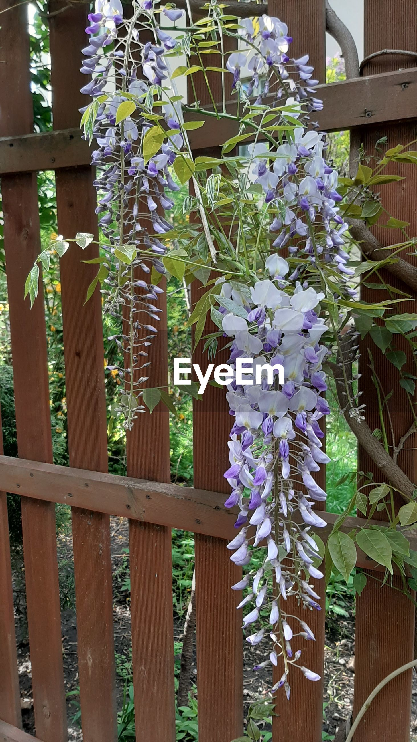 CLOSE-UP OF PURPLE FLOWERING PLANTS GROWING IN FENCE