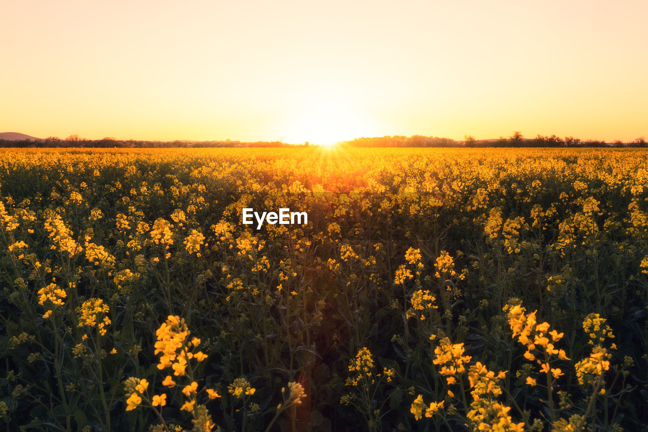 Scenic view of yellow flower field against sky during sunset