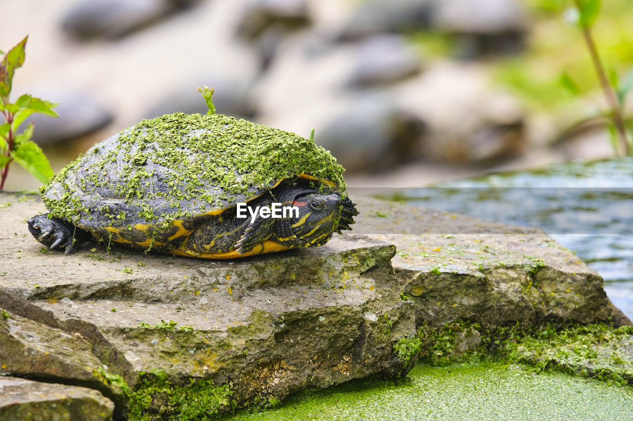 animals in the wild, animal wildlife, animal themes, animal, one animal, rock, close-up, reptile, rock - object, no people, amphibian, focus on foreground, day, solid, green color, vertebrate, nature, frog, moss, turtle, outdoors, marine