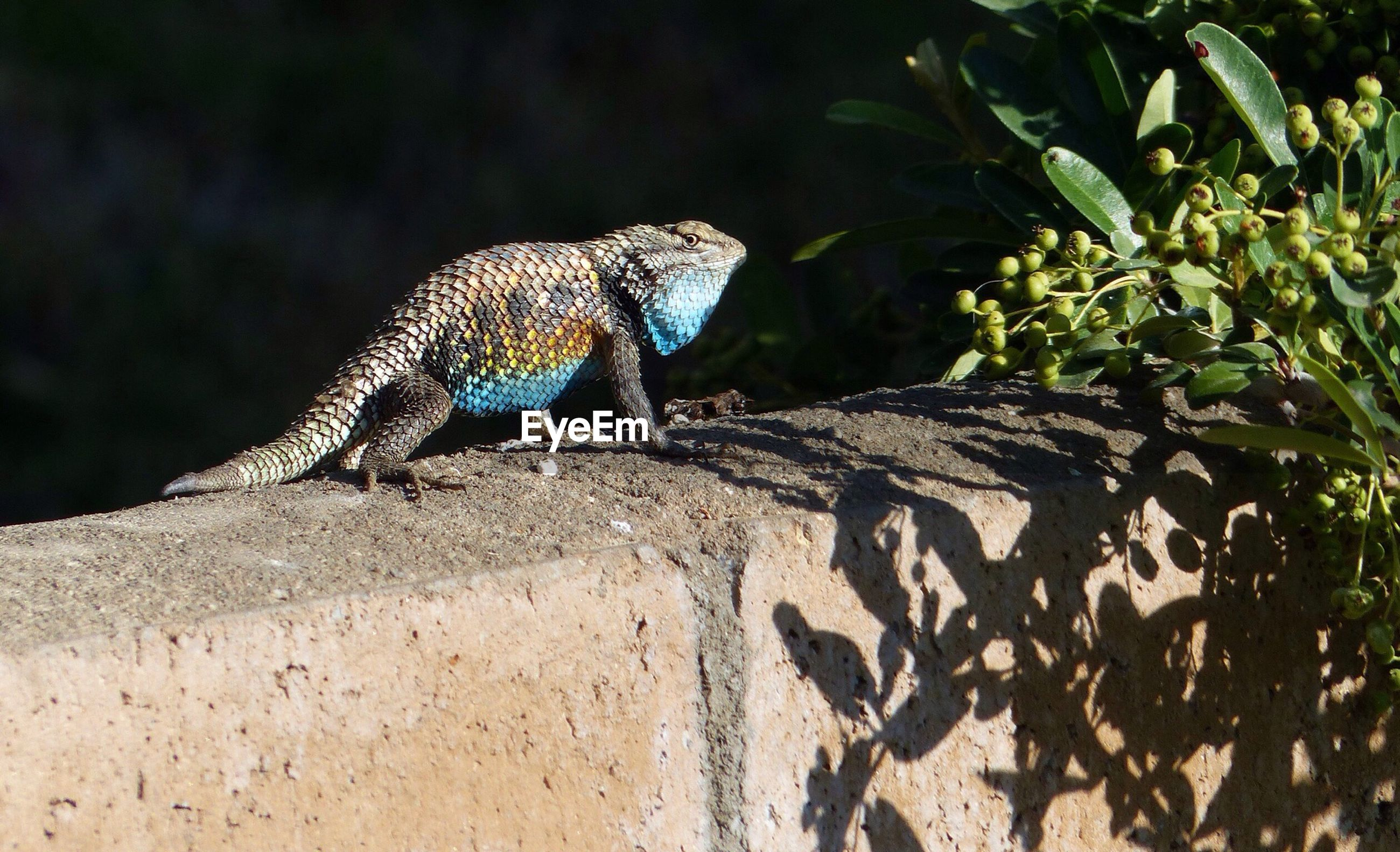animal themes, one animal, animals in the wild, wildlife, nature, reptile, lizard, side view, blue, full length, sunlight, outdoors, day, tree, close-up, no people, zoology, focus on foreground, natural pattern, beauty in nature