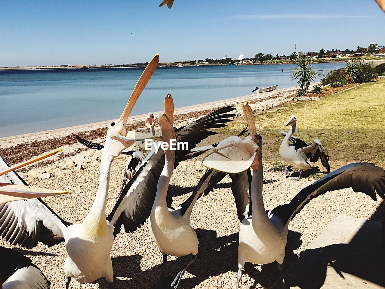 Pelicans Catching Fish At Lakeshore