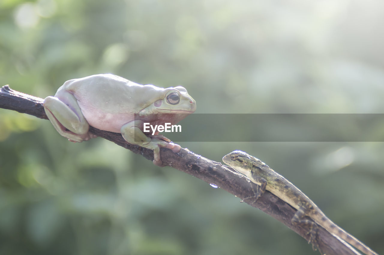 animal, animal themes, one animal, animal wildlife, vertebrate, animals in the wild, focus on foreground, close-up, no people, branch, nature, day, tree, reptile, plant, outdoors, green color, lizard, frog, food and drink, animal eye