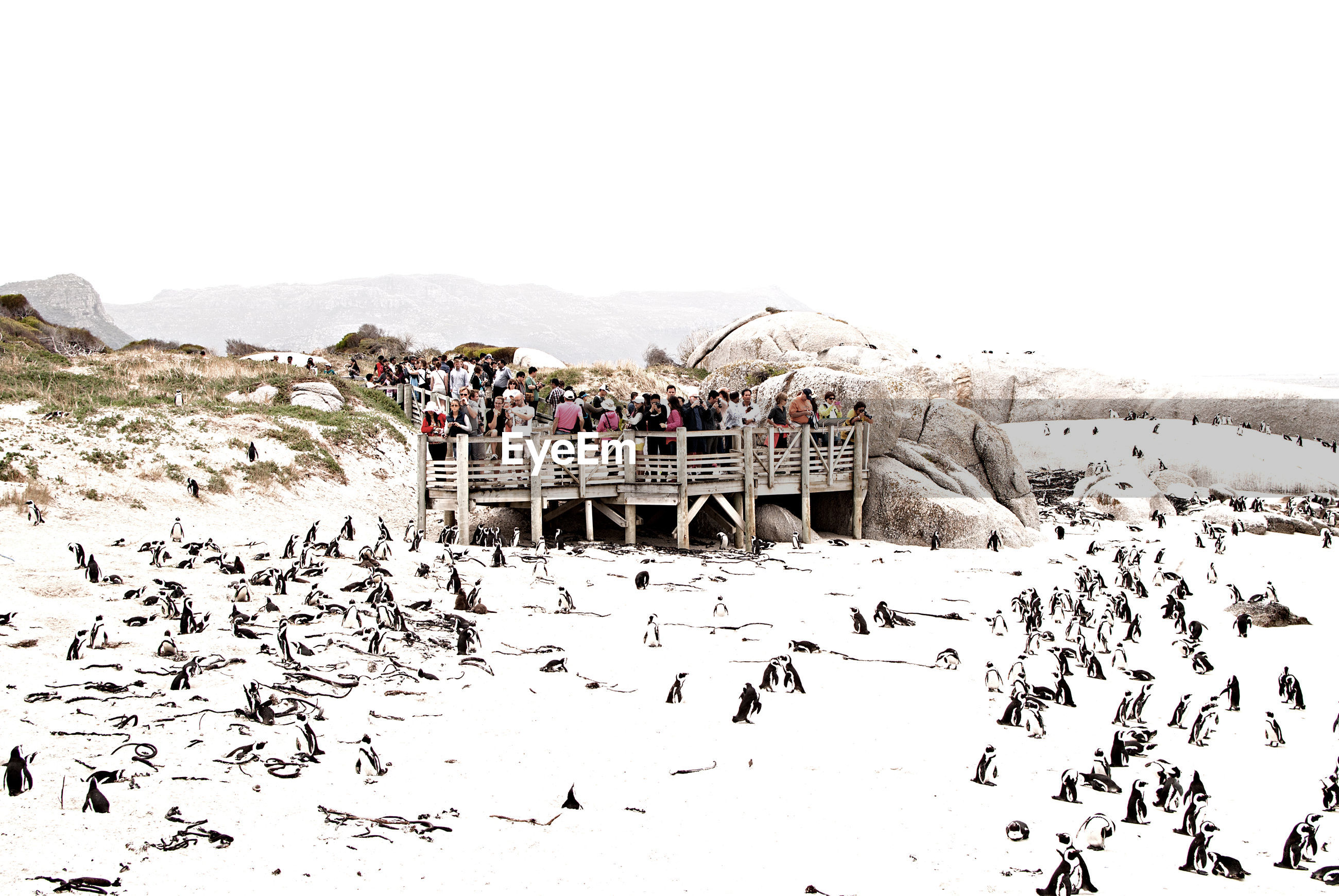 High angle view of penguins at snow covered beach against clear sky