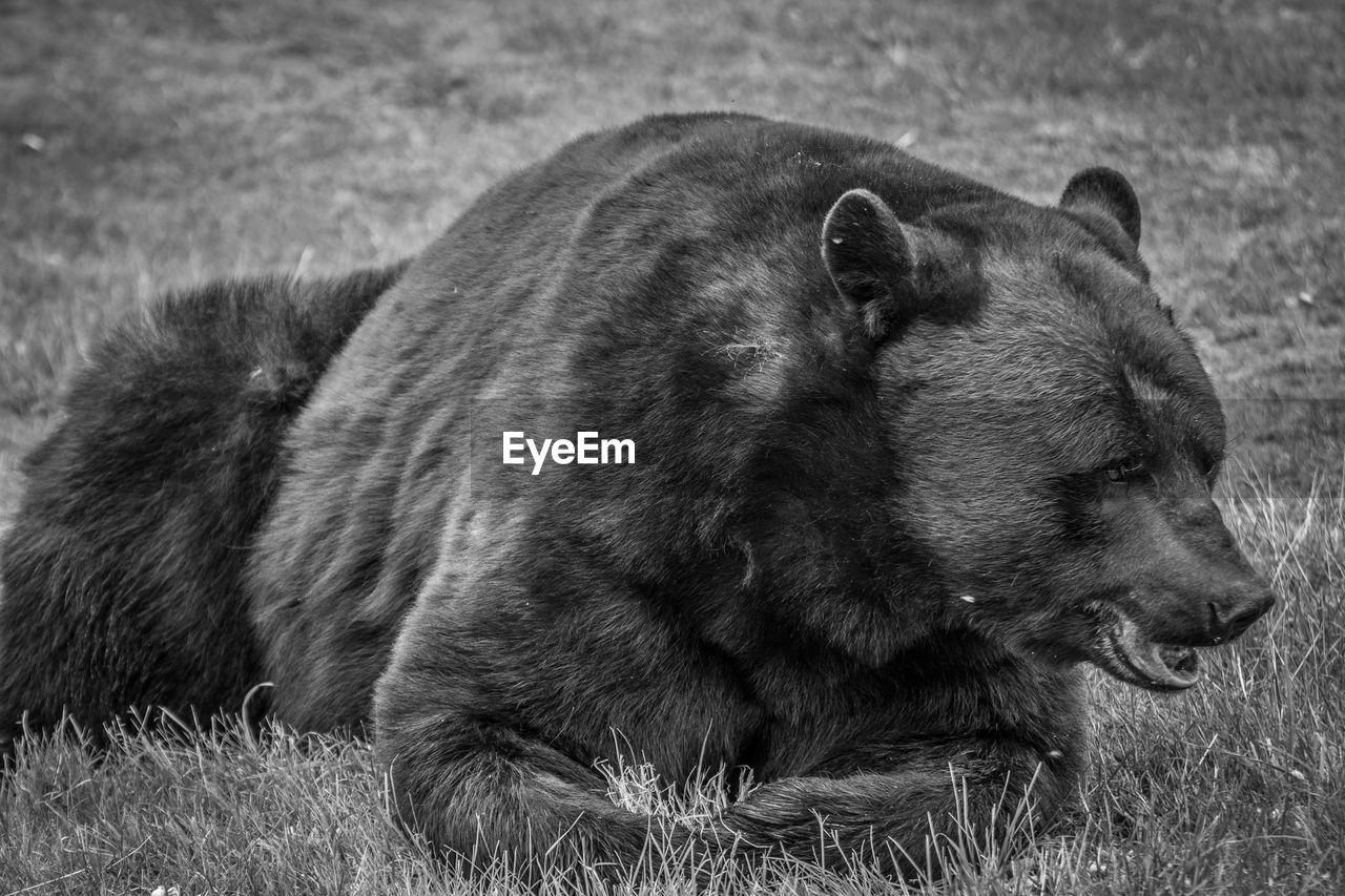 Bear on field