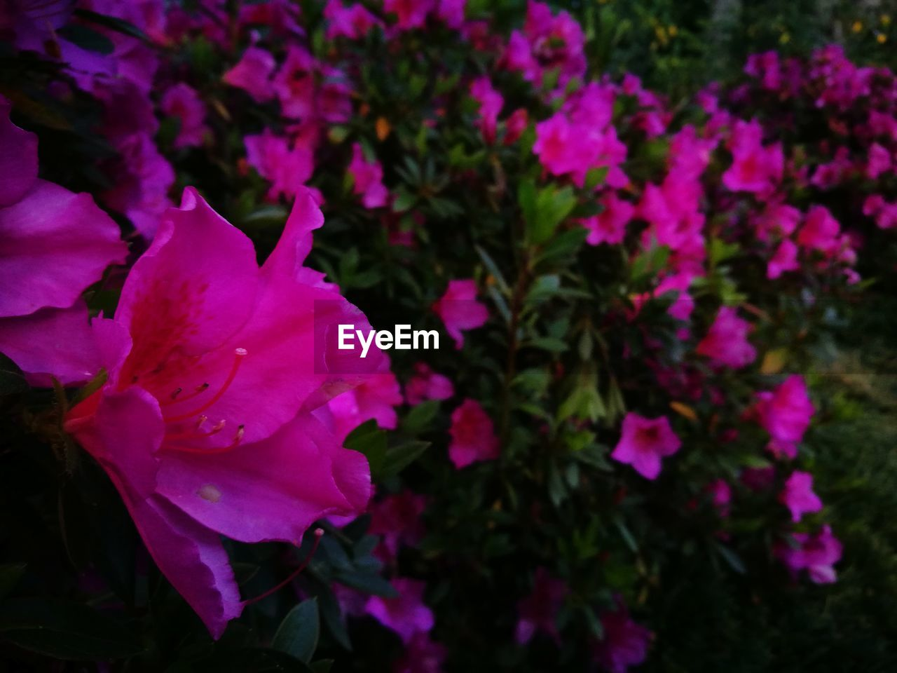flower, petal, beauty in nature, fragility, nature, flower head, pink color, growth, purple, no people, plant, freshness, blooming, night, close-up, outdoors, springtime, petunia, bougainvillea, periwinkle