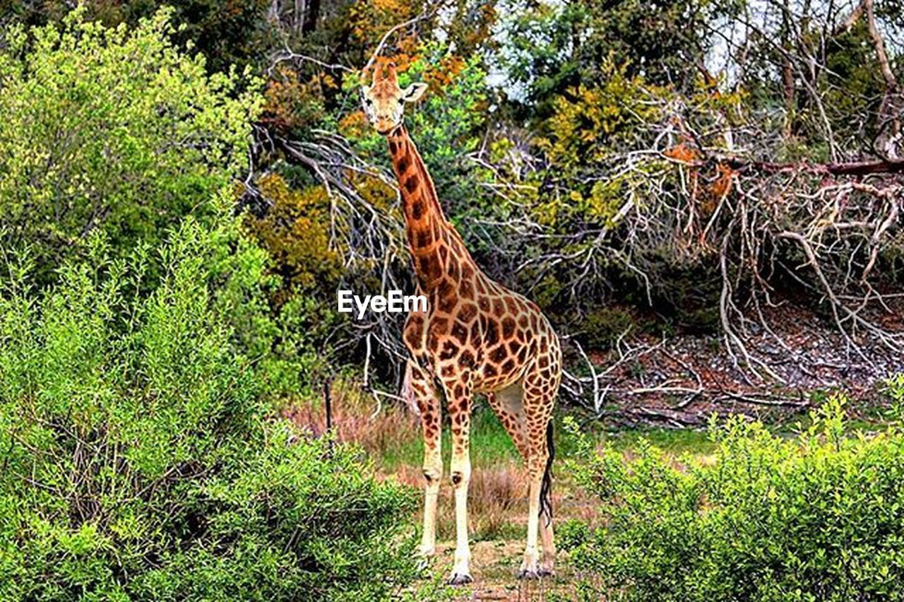 tree, animals in the wild, animal themes, giraffe, grass, green color, animal wildlife, mammal, one animal, outdoors, day, no people, growth, safari animals, nature, standing, beauty in nature