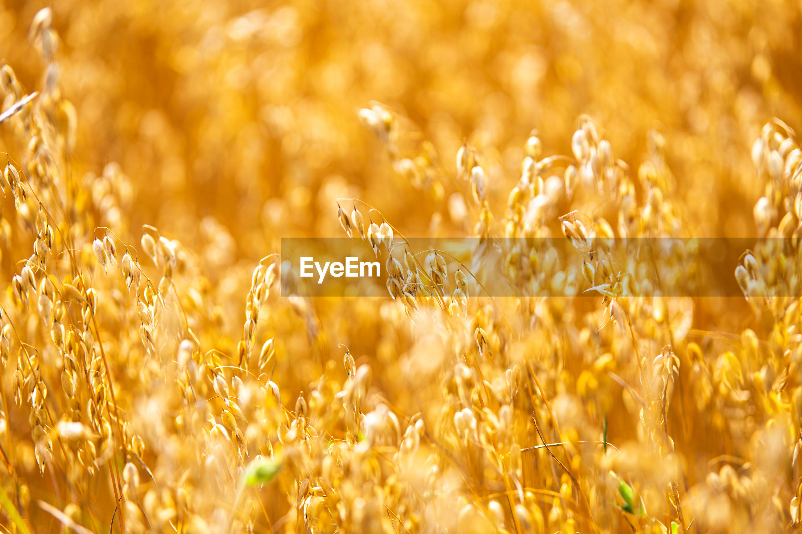 FULL FRAME SHOT OF FRESH YELLOW CROP FIELD
