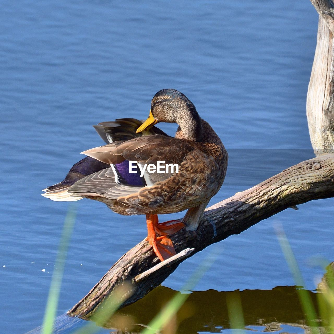 Close-Up Side View Of A Duck On Branch