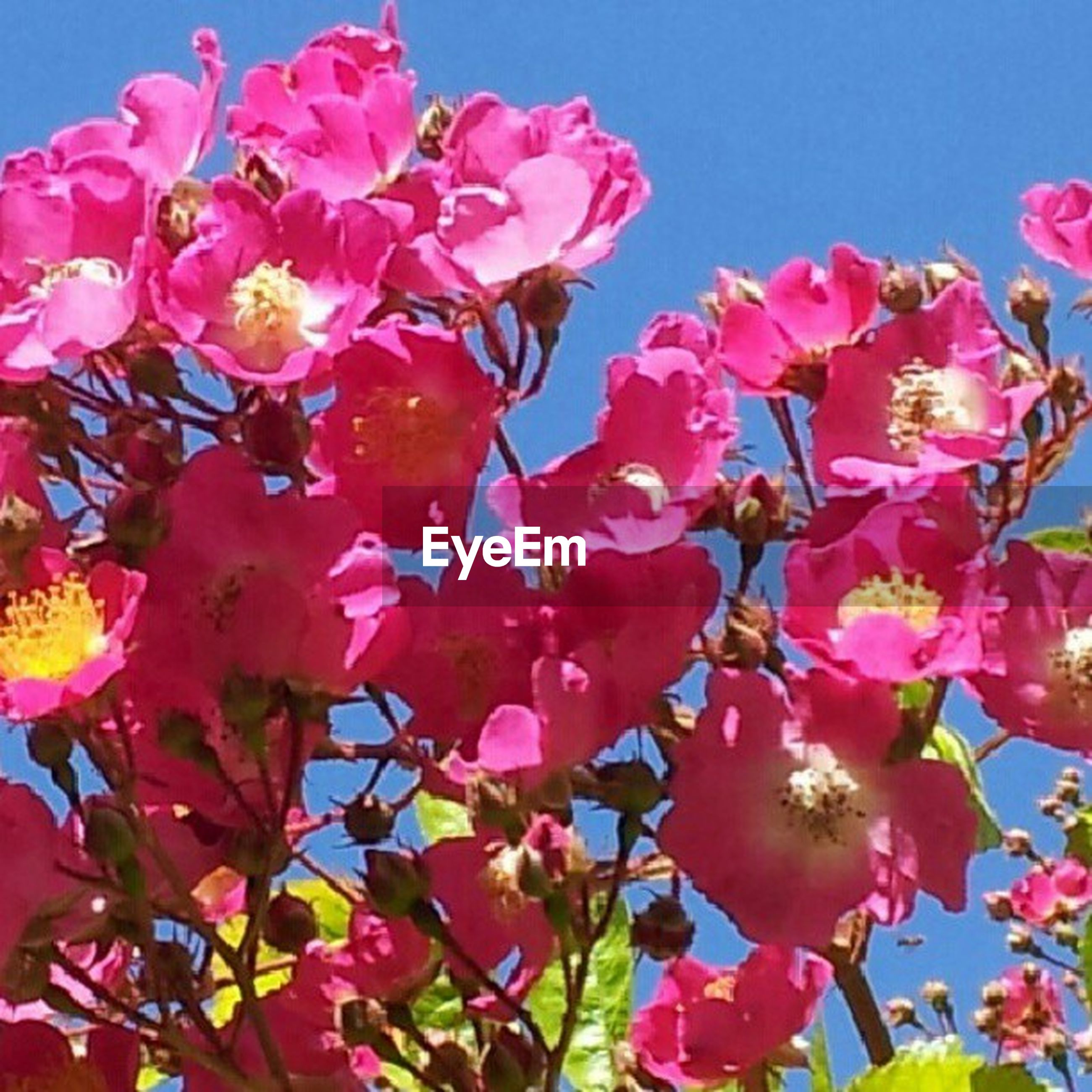 flower, freshness, fragility, petal, pink color, growth, beauty in nature, low angle view, blooming, clear sky, nature, flower head, in bloom, blossom, plant, sky, pink, close-up, day, outdoors
