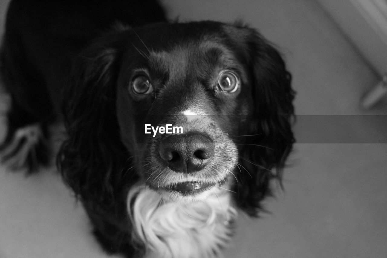 domestic, pets, dog, canine, domestic animals, one animal, mammal, looking at camera, portrait, vertebrate, indoors, close-up, no people, animal body part, focus on foreground, home interior, snout, animal eye, animal nose