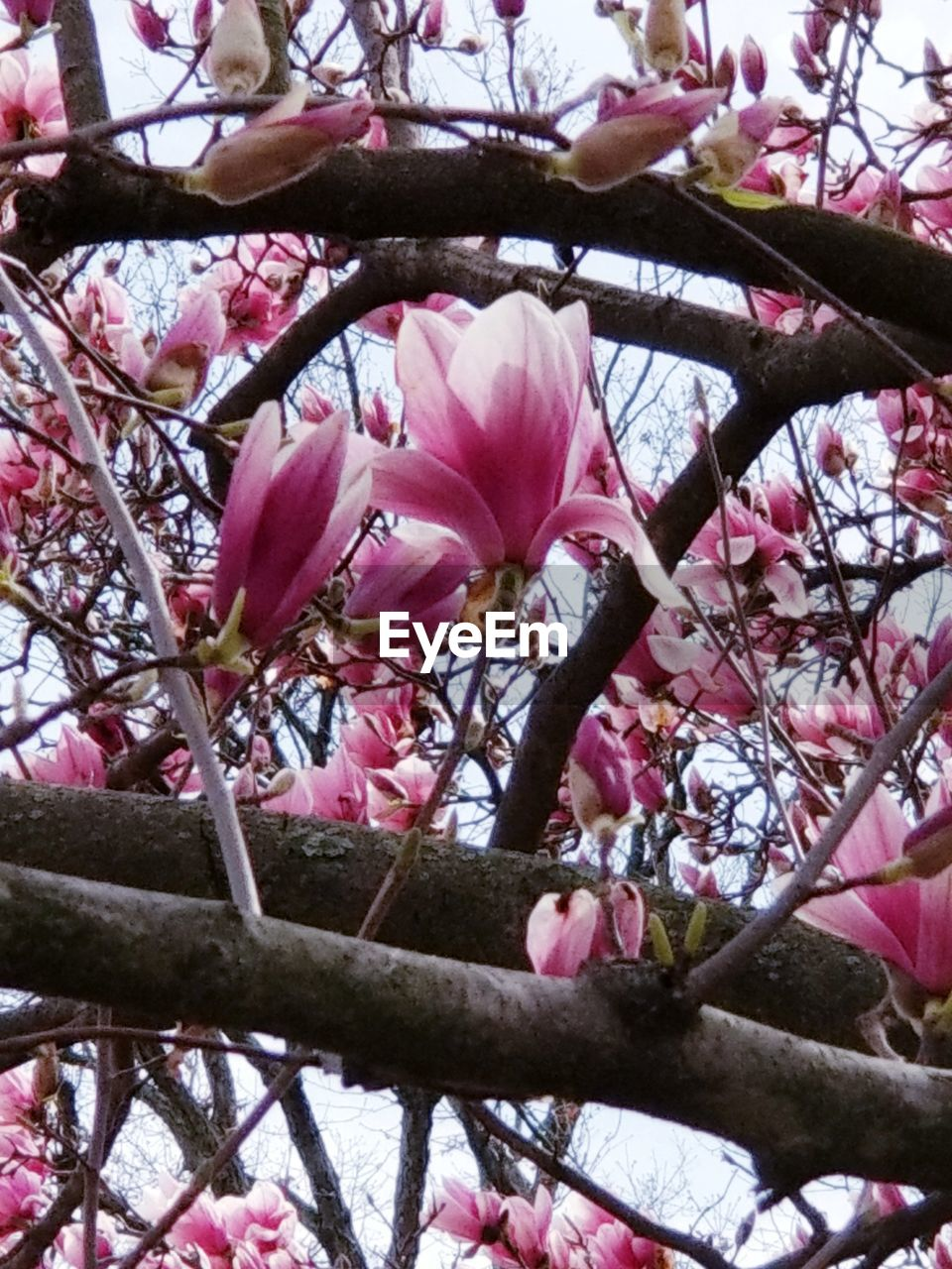 flower, flowering plant, plant, tree, freshness, pink color, branch, beauty in nature, blossom, growth, fragility, vulnerability, springtime, low angle view, day, nature, close-up, no people, twig, cherry blossom, outdoors, cherry tree, flower head, spring, pollen