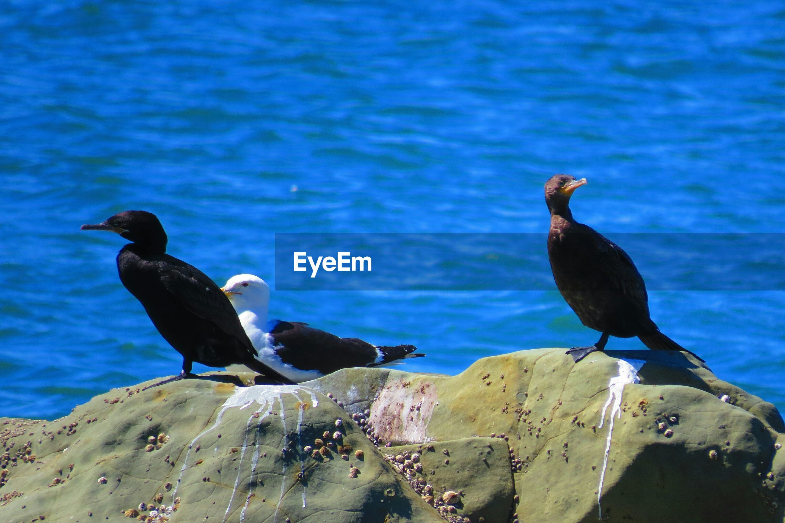 bird, animal themes, animals in the wild, blue, wildlife, perching, water, one animal, rock - object, nature, sea, full length, day, two animals, outdoors, focus on foreground, seagull, no people, beauty in nature, duck
