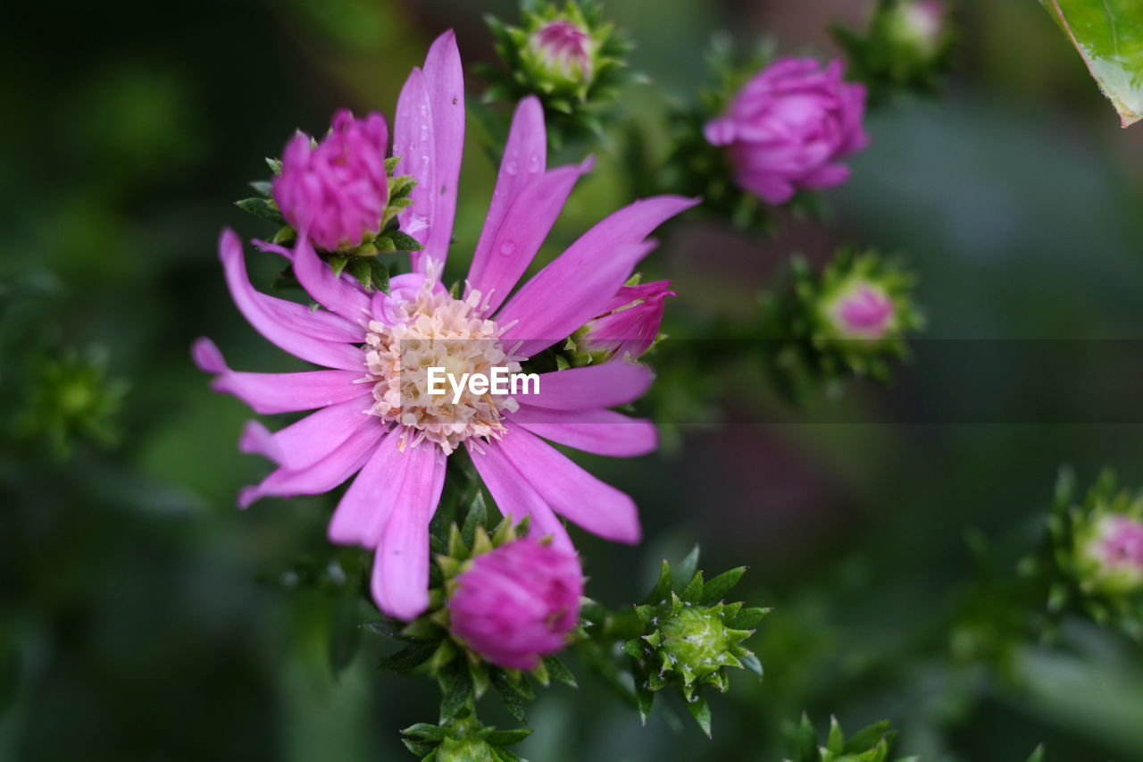 Close-Up Of Osteospermum Blooming Outdoors
