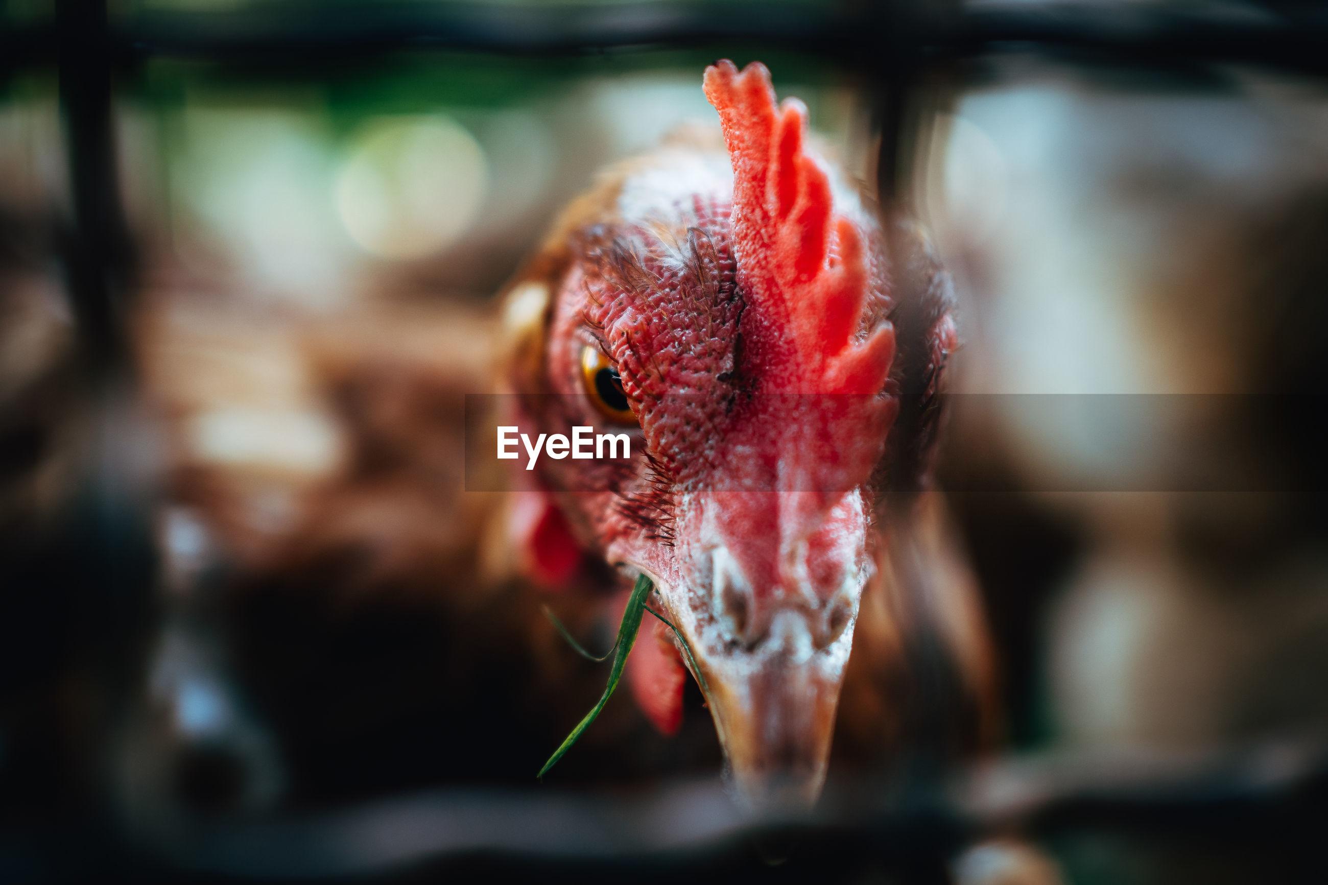 Close-up portrait of chicken