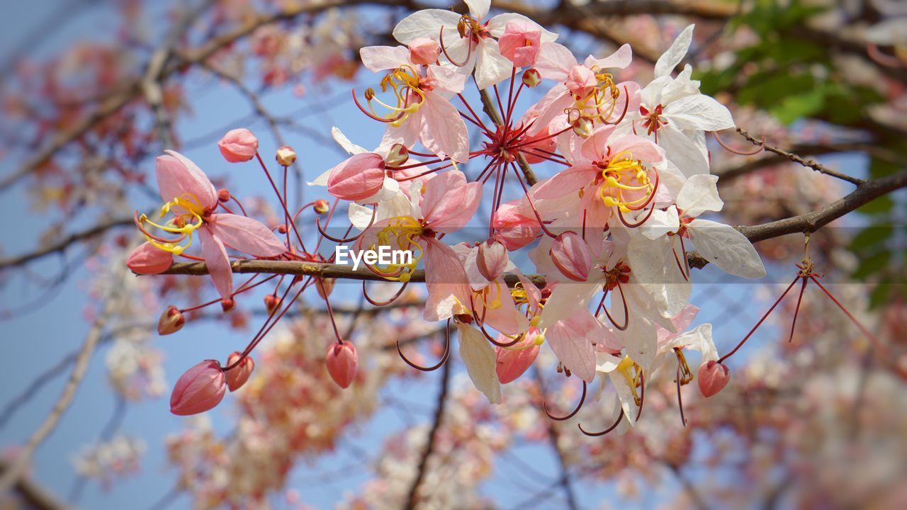 flower, flowering plant, plant, growth, freshness, fragility, beauty in nature, vulnerability, tree, branch, blossom, close-up, springtime, petal, day, nature, low angle view, no people, focus on foreground, cherry blossom, pink color, outdoors, pollen, flower head, cherry tree, plum blossom, spring