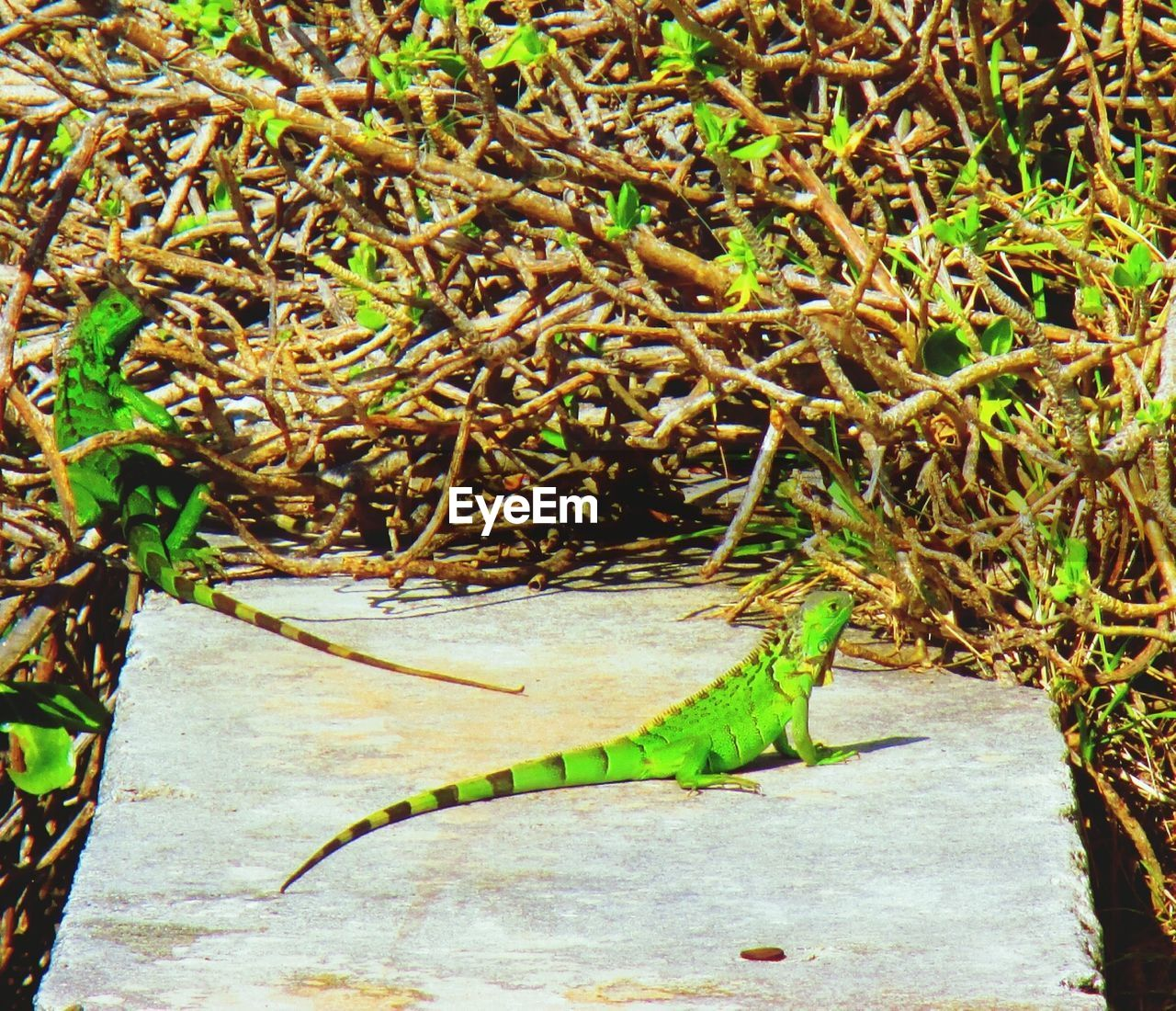 Iguanas by bush