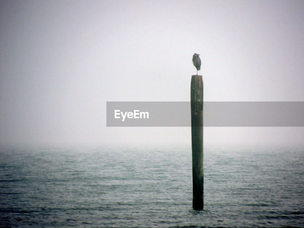Heron perching on wooden post in sea during foggy weather