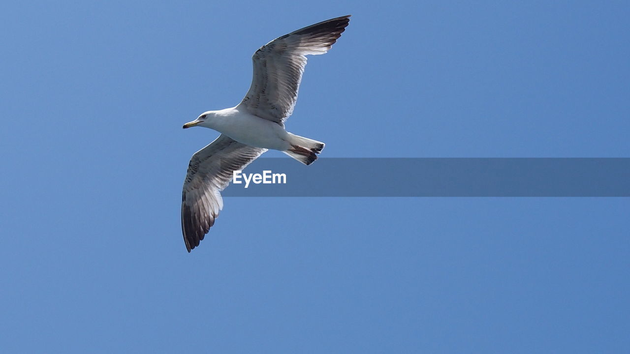 flying, animals in the wild, animal wildlife, spread wings, sky, animal themes, low angle view, bird, one animal, vertebrate, animal, clear sky, blue, copy space, mid-air, no people, day, seagull, nature, motion, outdoors, animal wing, searching