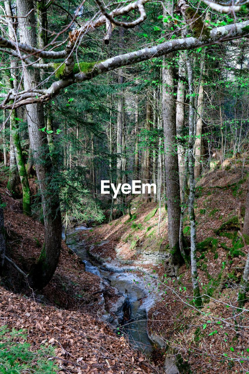 forest, tree, land, plant, tranquility, non-urban scene, nature, day, woodland, no people, tree trunk, trunk, beauty in nature, growth, tranquil scene, environment, water, scenics - nature, footpath, stream - flowing water, outdoors, flowing, flowing water