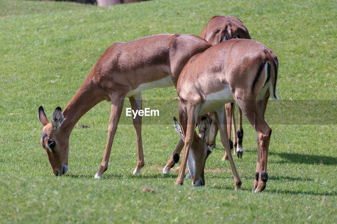 grass, animal themes, animal, mammal, group of animals, plant, domestic animals, nature, day, no people, land, young animal, field, livestock, animal wildlife, two animals, vertebrate, brown, domestic, standing, outdoors, animal family, herbivorous