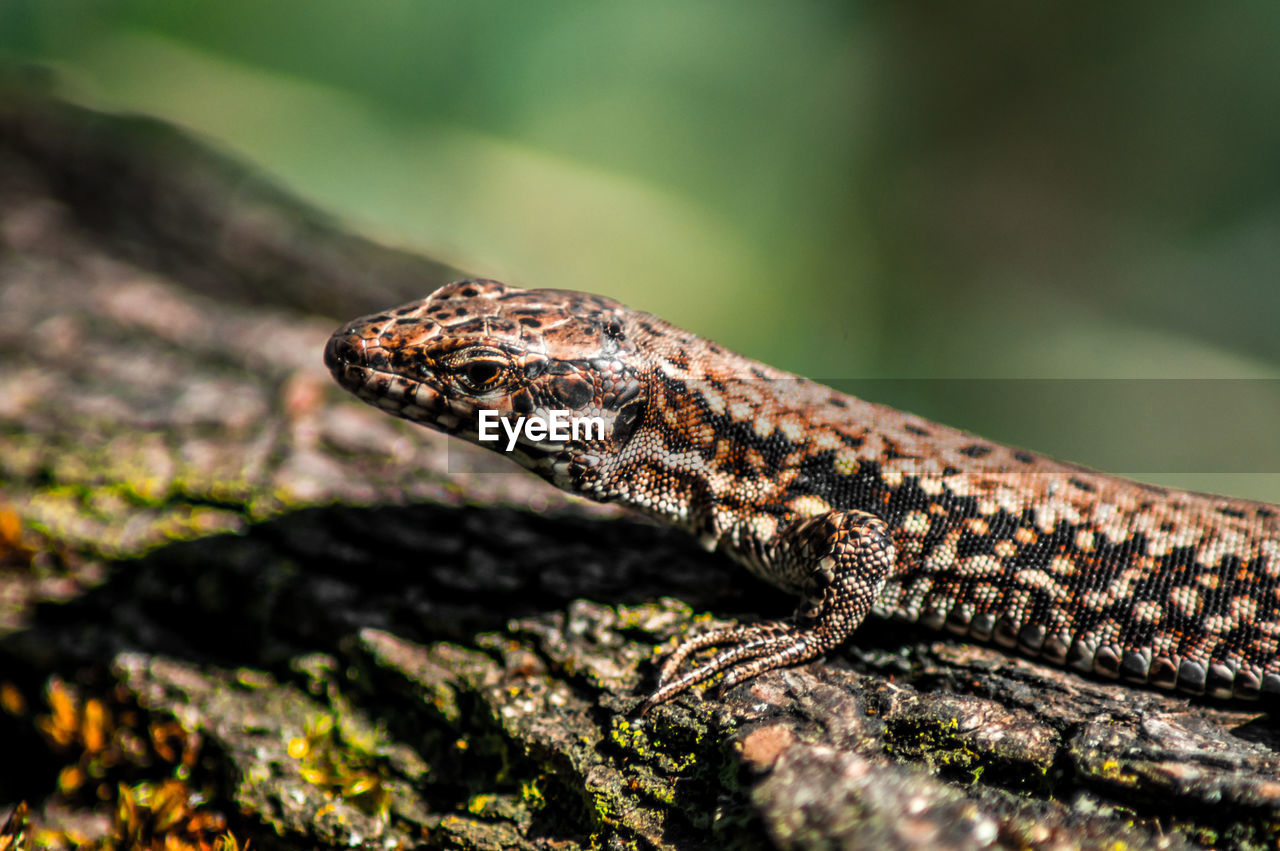 High Angle View Of Lizard On Log