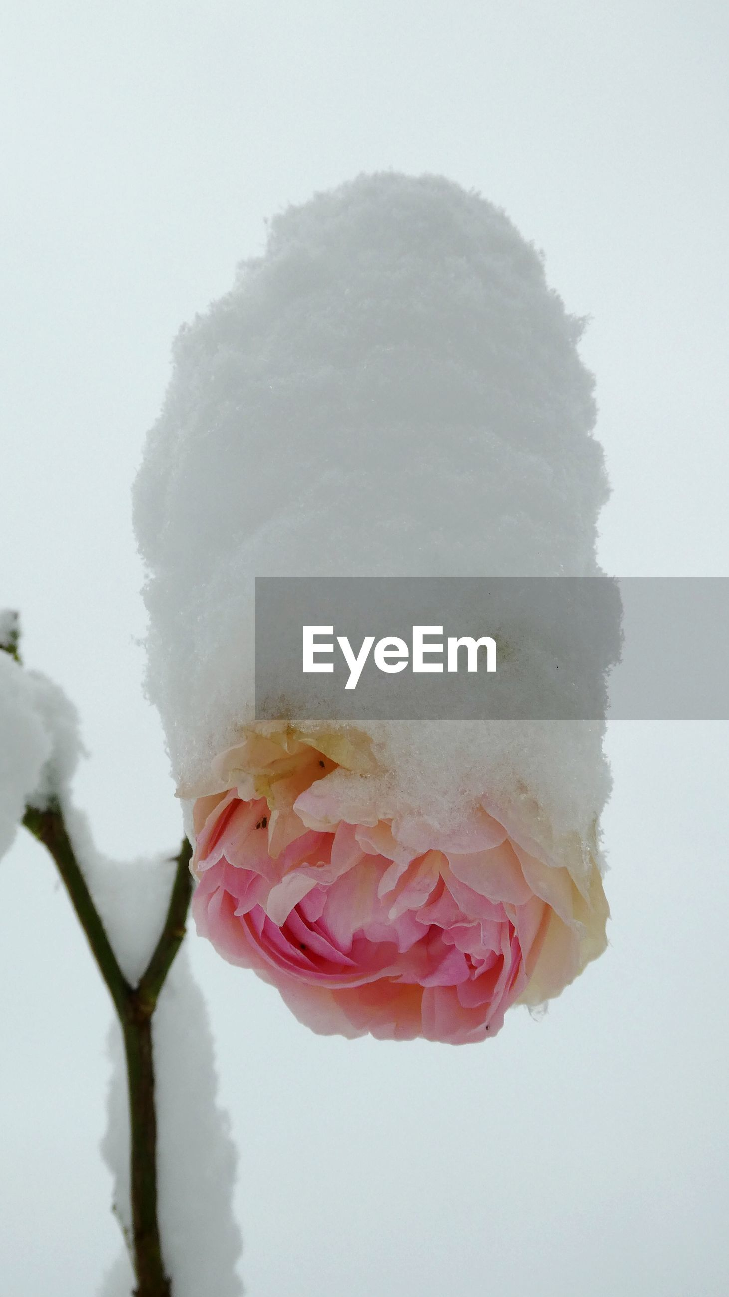Close-up of snow covered flower against sky