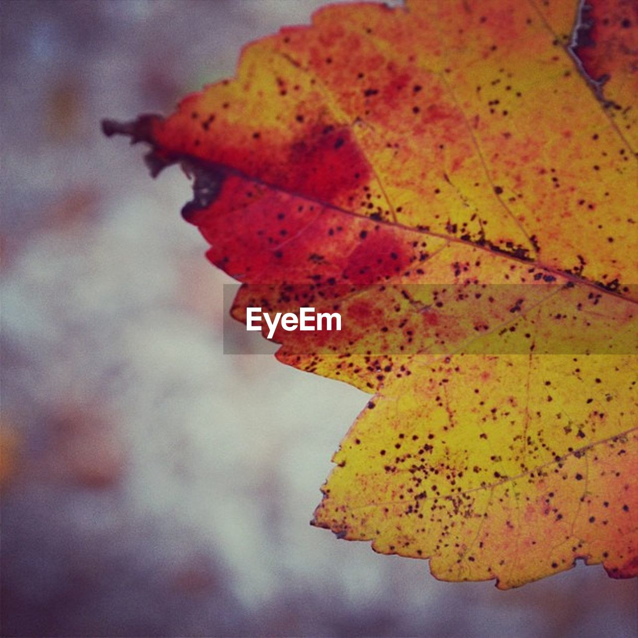 autumn, plant part, change, leaf, close-up, focus on foreground, yellow, orange color, beauty in nature, nature, plant, vulnerability, no people, day, fragility, natural pattern, outdoors, leaf vein, tree, natural condition, maple leaf, leaves, fall